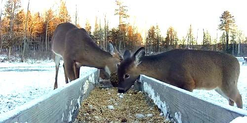 White-tailed deer feeders -  live webcam , Maine Dover-Foxcroft