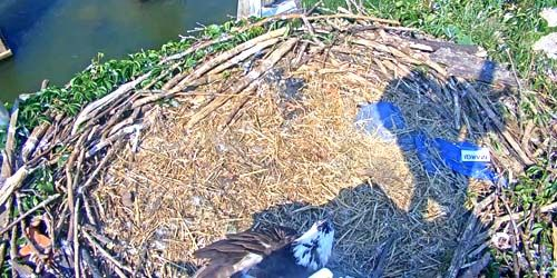 Osprey Nest -  live webcam , Virginia Richmond