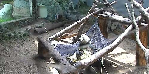 Panda at the zoo -  live webcam , Georgia Atlanta